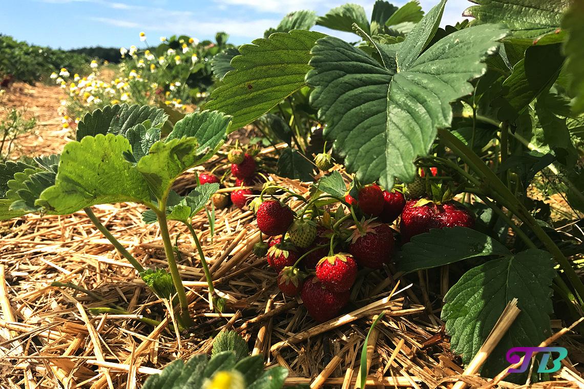 Erdbeeren Strauch Erdbeerfeld