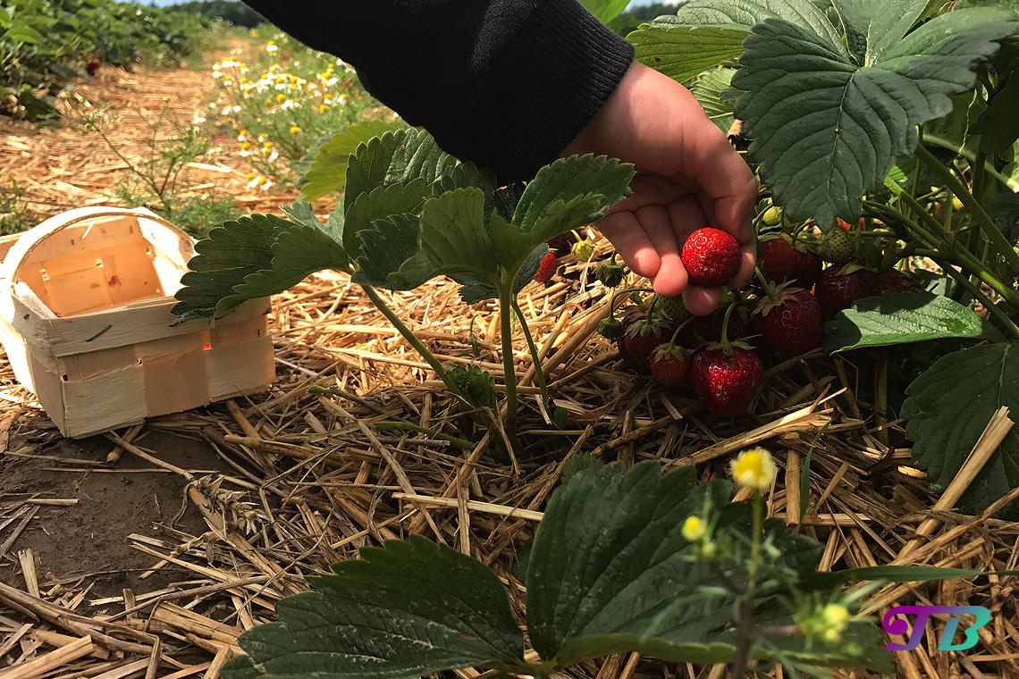 Erdbeeren pflücken Erdbeerernte