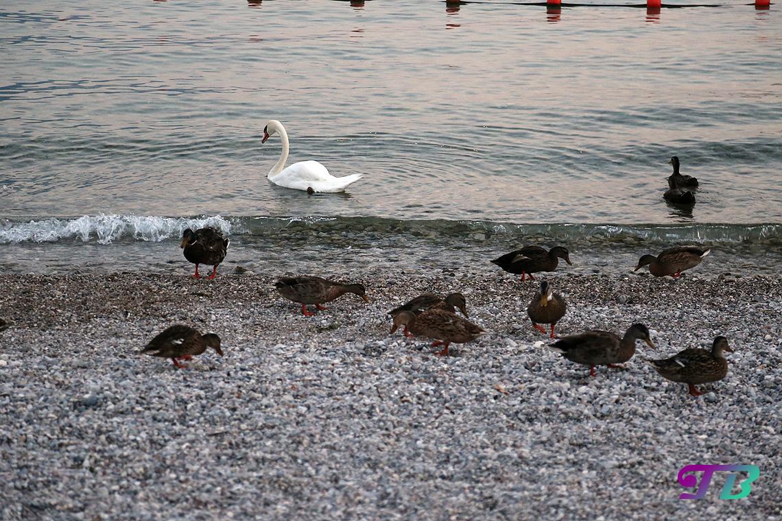 Italien Gardasee Riva Strand Enten Schwan