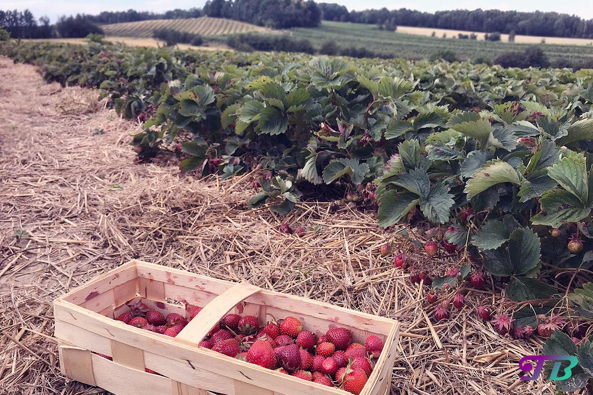 Erdbeerfeld Erdbeerpflanzen Aussicht Erdbeeren pflücken
