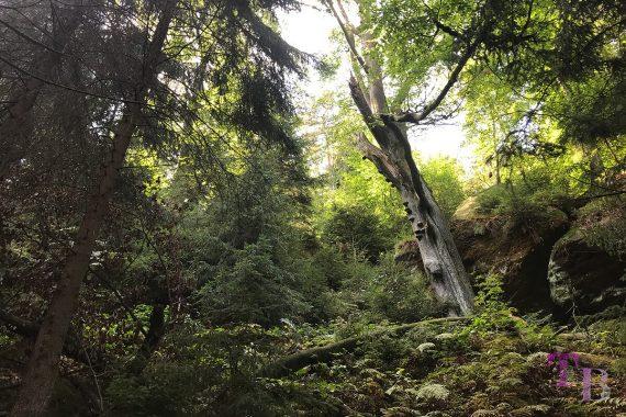 Affensteine Sächsische Schweiz Wald Natur